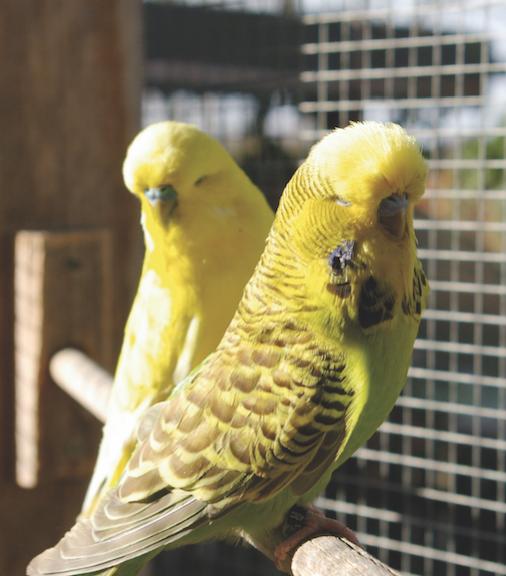grüner und gelber Standart Wellensittich